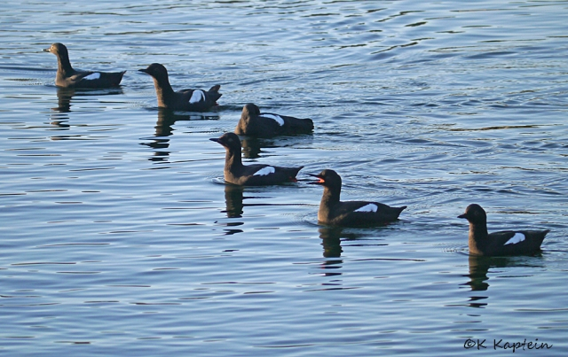 Pigeon Guillemot Flotilla