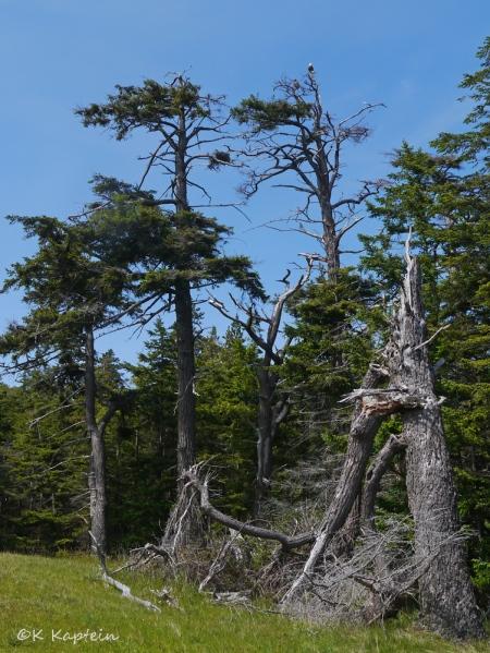 Eagle & Douglas-fir